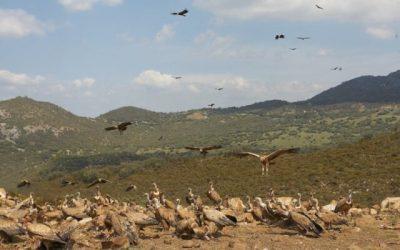 Los ambientes humanizados y las poblaciones densas provocan mayor estrés y envejecimiento celular en grandes aves carroñeras