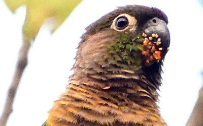 Un estudio analiza el papel de los loros en la dispersión de semillas que se adhieren a sus picos y plumas