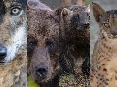 Un estudio internacional, en el que participa la Estación Biológica de Doñana, confirma la recolonización natural de los grandes carnívoros en Europa
