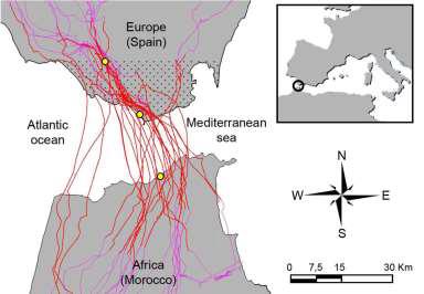 Científicos de la Estación Biológica de Doñana y del Instituto Max-Planck de Alemania muestran las estrategias de vuelo de las cigüeñas blancas al cruzar el Estrecho de Gibraltar