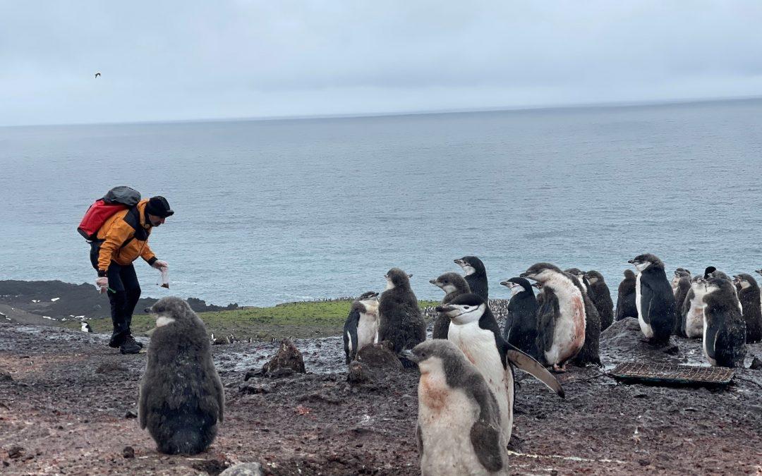 El CSIC destaca el papel del guano de los pingüinos como fuente de metales reciclados en el océano austral