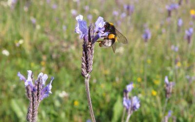 Un equipo del CSIC comprueba que parte de los abejorros que se usan para polinizar las hortalizas se desplazan a las zonas naturales