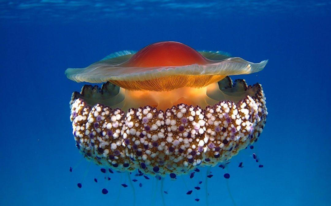 Un estudio del CSIC demuestra que una medusa simbionte sobrevivirá al calentamiento y la acidificación oceánica