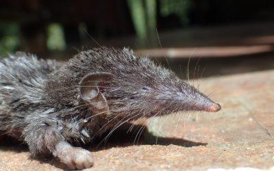 Pensando en las musarañas de Sonda: un estudio de la Estación Biológica de Doñana describe la historia evolutiva del género Crocidura en esta región